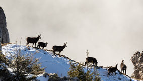 Wild black goats sitting in the sun Stock Photography