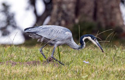 Wild Black Headed Heron Foraging in Dry Winter Grass Royalty Free Stock Photography