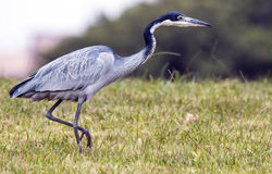 Wild Black Headed Heron Foraging in Dry Winter Grass Royalty Free Stock Image