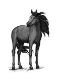 Wild black horse standing vector sketch. Black horse vector sketch. Wild mustang stallion standing with turned head. Farm or ranch equine animal symbol for Stock Photos