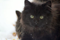 Wild black kitten in the snow. Adorable focussed wild fluffy black kitten  in the snow. snowy whiskers Royalty Free Stock Photo