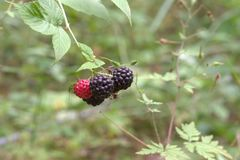Wild black raspberry Big berries, ripe and ripening on thorny stem royalty free stock image