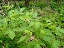 Wild Black Red Raspberries in Michigan. Wild BlackRed Raspberry in Walled Lake, Michigan. Captured May 20, 2017 Royalty Free Stock Image