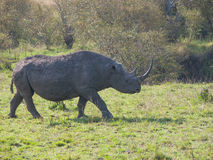 Wild black rhinoceros or hook-lipped rhinoceros  surrounded by g Stock Images