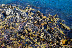 Wild black sea ocean mussels on rocks, natural environment seafood Stock Photo