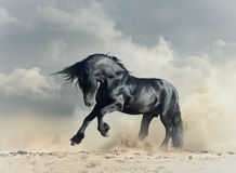 Wild black stallion. In desert running stock photos