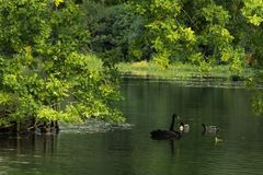 Wild black swan Stock Images