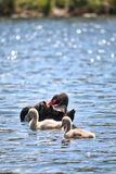 Wild Black Swan Family Stock Photo