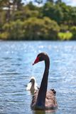 Wild Black Swan Family Royalty Free Stock Image