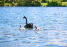 Wild Black Swan Family Royalty Free Stock Photos