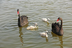 Wild black swans Stock Image