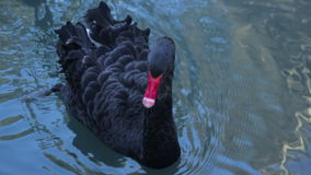 Wild black swans swimming in the pond stock footage