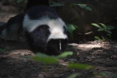 Cute Black and White Skunks in the Wild. Wild black and white skunk in woodlands Stock Images