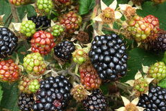 Wild blackberries. Wild, ripe and unripe blackberries still hanging on bush stock photos