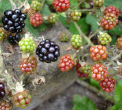 Wild Blackberries Royalty Free Stock Photo