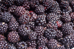 Wild blackberries. Macro of a large cluster of wild blackberries stock photos