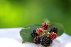Wild Blackberries. In the fields of the region alentejo, Portugal Stock Photo