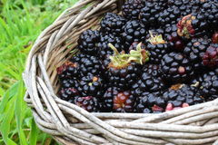 Wild blackberries in basket Royalty Free Stock Images