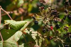 Wild Blackberries Birds Left Royalty Free Stock Photo
