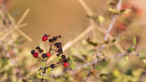 Wild Blackberries Royalty Free Stock Image