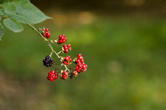 Wild blackberries Stock Images