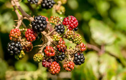 Wild Blackberries Close Up. Wild Blackberries in the hedgerow. Almost ripe and ready to pick Stock Photography