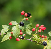 Wild Blackberries Royalty Free Stock Images