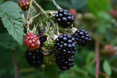 Wild Blackberries Royalty Free Stock Photos