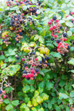 Wild blackberries in the hedgerow Stock Photo