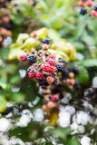 Wild blackberries in the hedgerow Stock Images