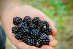 Wild blackberries laying in the hand stock images