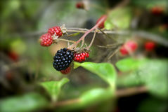 Wild blackberries. Macro of wild black and red berries with a nicely blurred background of lime green and red Royalty Free Stock Photos