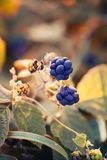 Wild blackberries in macro photography royalty free stock photography