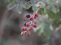 Wild  blackberries macro Stock Image