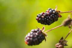 Wild Blackberries Royalty Free Stock Photo