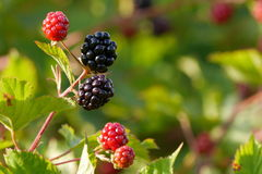 Wild blackberries Royalty Free Stock Photography