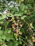 Wild blackberries ripen on bramble bush. Royalty Free Stock Images