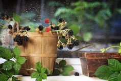 Wild Blackberries in Vintage Basket stock image