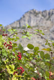 Wild blackberry Stock Photography