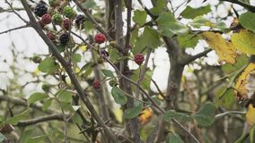 Wild blackberry both ripe and unripe berries on a bramble bush. Wild Blackberries - Wild blackberry both ripe and unripe berries on a bramble bush stock video footage