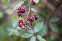 Wild blackberry stock images