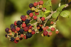 Wild Blackberry fruit Stock Images