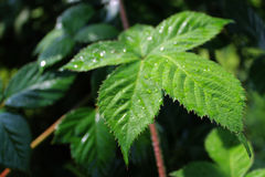 Wild Blackberry Plant After Rain Royalty Free Stock Photos