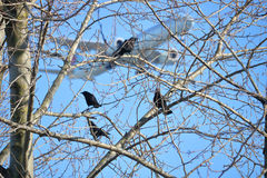 Wild Blackbirds and Jet Airliner Stock Images