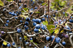 Wild blackthorn bushes. Autumn background. Prunus spinosus (lat stock image