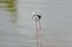 Wild blackwinged stilt Stock Photography