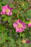 Wild bloeien nam toe Royalty-vrije Stock Fotografie