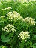 wild blomma Försiktigt vit, malenkieblommor samlade i en packe Mot bakgrunden av gröna sidor av olika former Royaltyfria Bilder