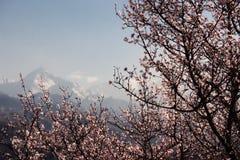 wild blomma tree för aprikos Royaltyfri Bild