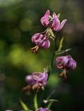 wild blommalilja Fotografering för Bildbyråer